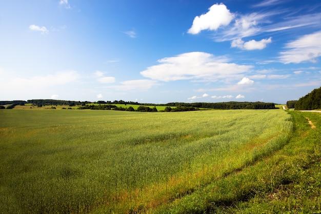 Campo agricolo dove crescono grani verdi acerbi