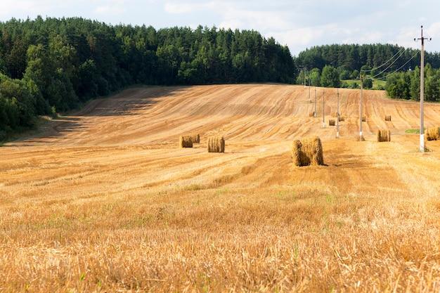 Campo agricolo dove si raccolgono i cereali. agricoltura arabile