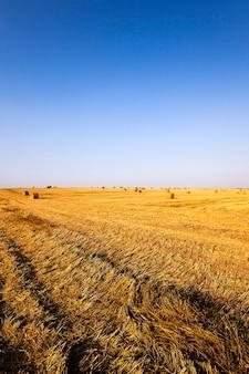 Campo agricolo dove si raccolgono cereali maturi. agricoltura