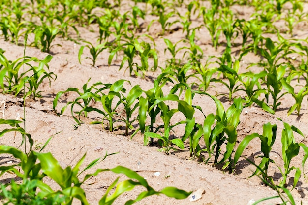 Campo agricolo dove viene coltivato il mais. primavera