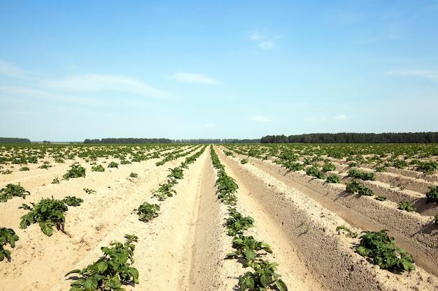 Campo agricolo dove patate, patate verdi acerbe