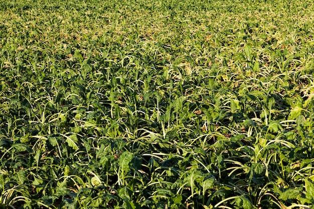 Un campo agricolo dove la barbabietola da zucchero si secca per mancanza di pioggia e irrigazione