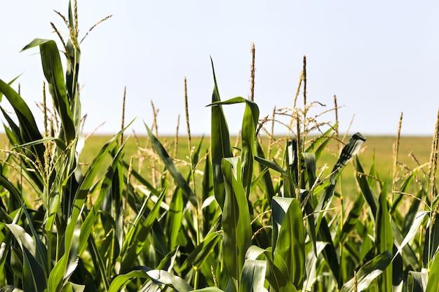Campo agricolo dove si coltiva mais dolce per la produzione e il ricevimento di cibo