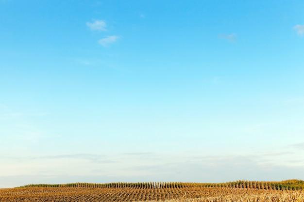 Campo agricolo in cui un trattore raccoglie il raccolto di mais maturo, smussato steli ingialliti di una pianta vicino, la stagione autunnale, cielo blu,