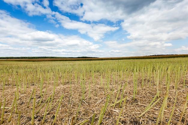 Campo agricolo, che raccoglie l'estate matura dell'agricoltura del raccolto di colza