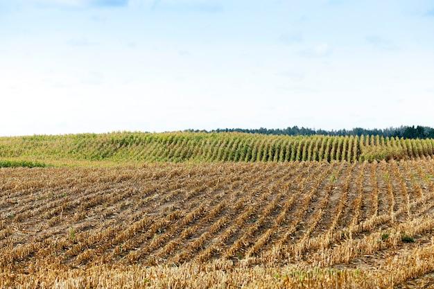 Campo agricolo, che raccoglieva il raccolto di mais maturo, gli steli ingialliti smussati di una pianta da vicino, la stagione autunnale