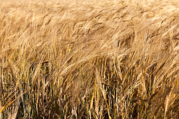 Un campo agricolo su cui crescono cereali secchi arancioni e gialli. stagione autunnale