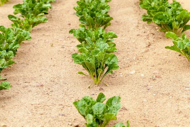 Campo agricolo su cui crescono barbabietole per la produzione di zucchero, barbabietola da zucchero