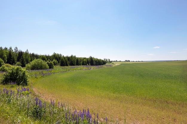 Campo agricolo su cui crescono cereali, periodo estivo