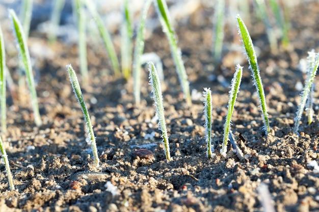 Campo agricolo su cui crescono verdi germogli di grano ricoperti di brina mattutina.