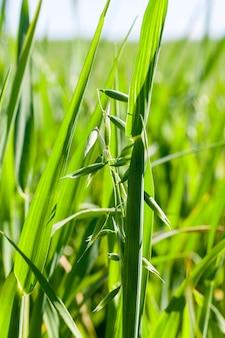 Campo agricolo su cui crescono cereali immaturi, avena