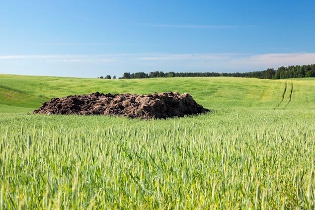 Campo agricolo su cui crescono cereali giovani immaturi, grano. cielo azzurro in superficie