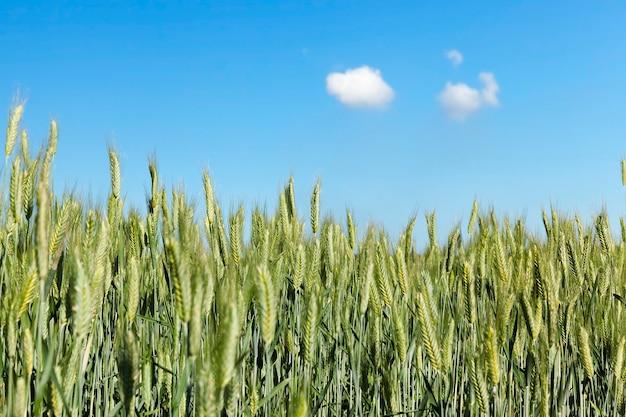 Campo agricolo su cui crescono cereali giovani immaturi, grano. cielo azzurro con nuvole sullo sfondo