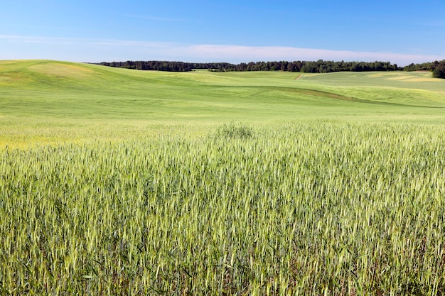 Campo agricolo su cui crescono cereali giovani immaturi, frumento. cielo blu nel