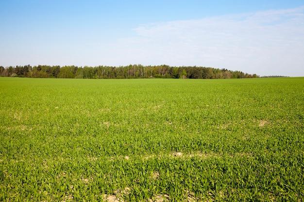 Campo agricolo su cui crescono cereali giovani immaturi, frumento.