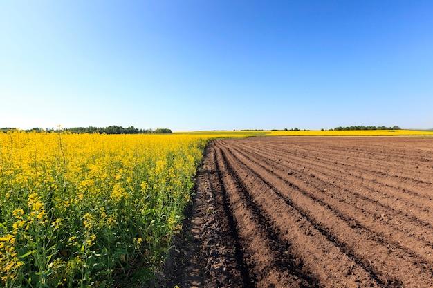 Campo agricolo su cui crescono patate e dall'altra campo colza