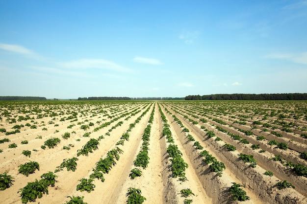 Campo agricolo su cui crescono patate, solchi di patate
