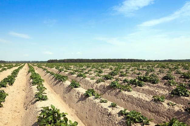 Campo agricolo su cui crescono le patate.