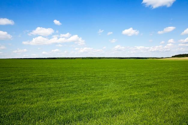 Campo agricolo su cui crescono erba verde acerba nella stagione primaverile
