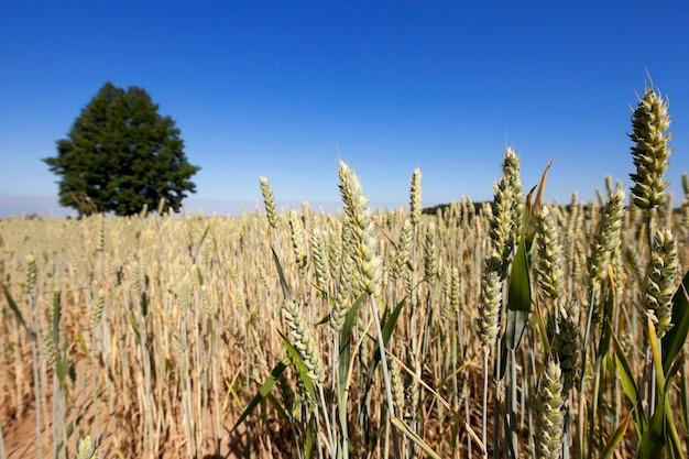 Campo agricolo su cui crescono cereali frumento, bielorussia, cereali maturi e ingialliti, piccola profondità di campo