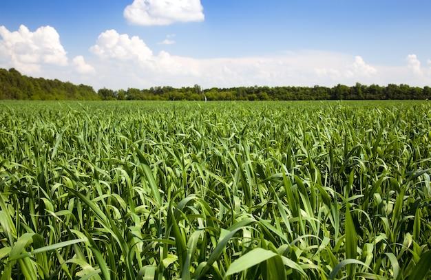 Campo agricolo su cui crescono mais