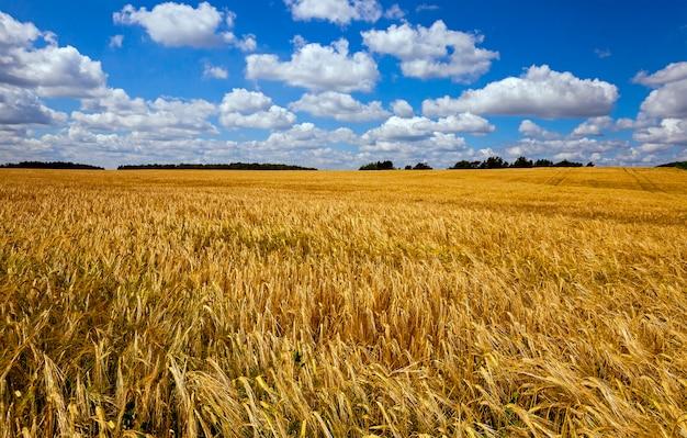 Un campo agricolo su cui cresce il grano