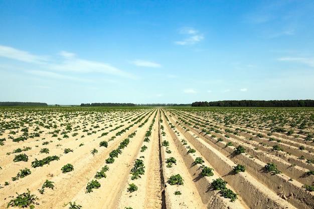 Campo agricolo su cui cresce patate verdi. solchi nel campo