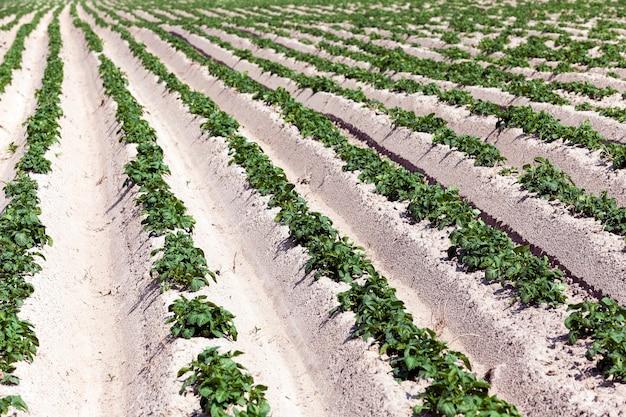 Campo agricolo su cui cresce patate verdi. estate