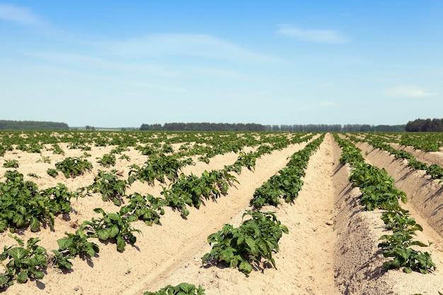 Campo agricolo su cui cresce patate verdi.