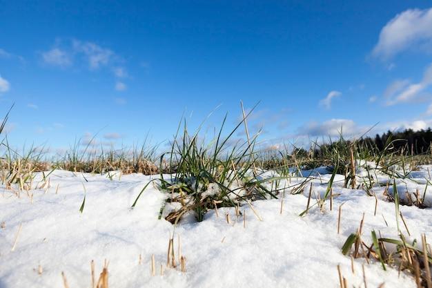 Campo agricolo su cui cresce il grano verde. nel periodo invernale dell'anno, il terreno è coperto di neve dopo una nevicata. cielo blu sullo sfondo.