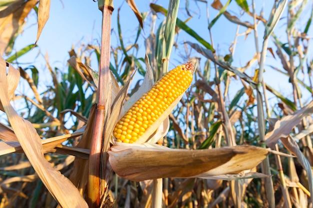 Campo agricolo su cui cresce pronto per la raccolta mais ingiallito, contro il cielo blu