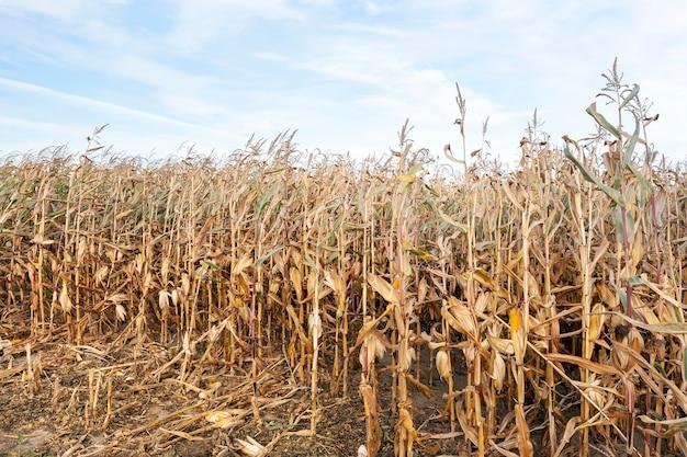 Campo agricolo su cui cresce pronto per il raccolto mais essiccato ingiallito.