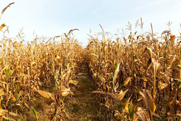 Campo agricolo, che coltiva pannocchie di mais mature pronte per il raccolto