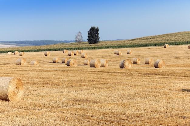 Un campo agricolo su cui giacciono i mucchi di fieno della paglia dopo il raccolto, cielo blu