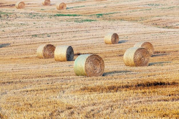 Un campo agricolo su cui giacciono i mucchi di fieno di paglia dopo il raccolto, una piccola profondità di campo