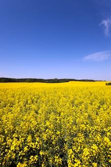 Campo agricolo su cui fiorisce la colza. cielo blu.