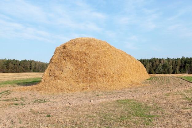 Campo agricolo su cui sono stati lasciati mucchi di fieno di paglia dopo la mietitura del grano, campo di grano, agricoltura e alimenti biologici, stagione autunnale, cielo blu