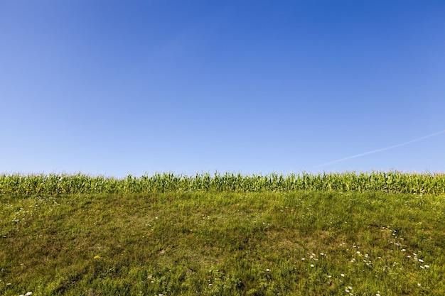 Campo agricolo con un raccolto di piante per produrre un raccolto di prodotti dell'attività agricola nell'europa orientale