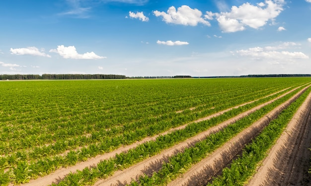 Campo agricolo con solchi in cui sono piantate e crescono carote rosse ordinarie, agricoltura