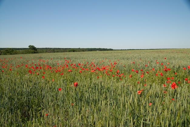 Campo agricolo con grano verde e aree di fiori di papavero rosso in fiore sullo sfondo dello skyline in una giornata di sole estivo.