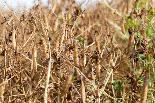 Un campo agricolo con un raccolto maturo di piselli gialli
