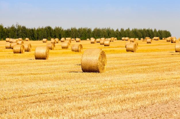 Campo agricolo con pagliai gialli di paglia che giace su una stoppia tagliente