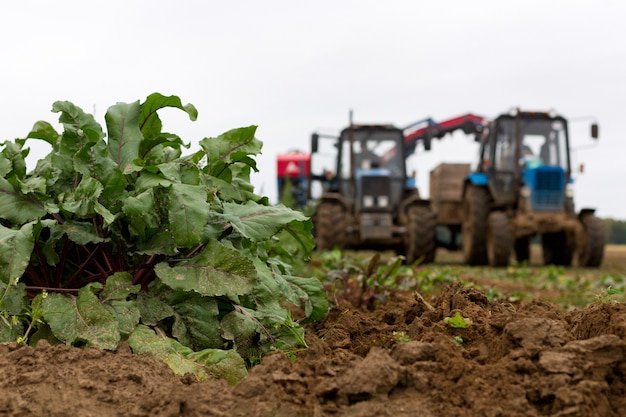 Macchine agricole per la raccolta su un campo di barbabietole