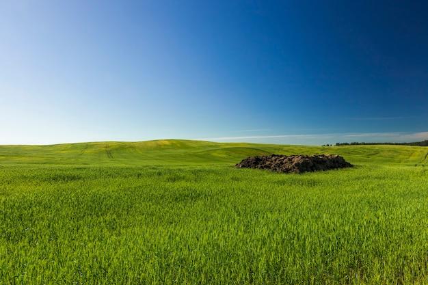 Piante agricole in campo, lavorazione del terreno per fertilizzanti, un tipo di attività e impresa finalizzata a trarre profitto dalla coltivazione alimentare, un campo in estate con cereali agricoli