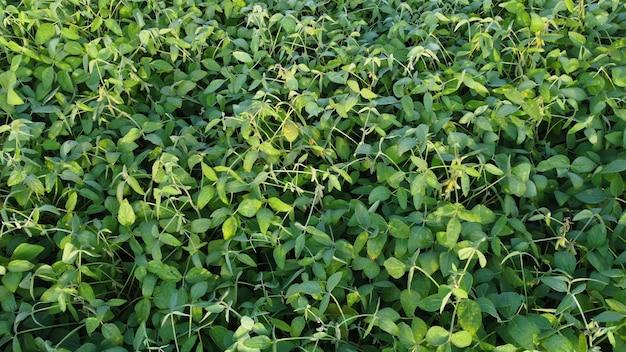 Campo di piantagione di soia agricola. sfondo di foglie di soia verde