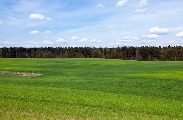 Agricoltura. cereali. campo agricolo primaverile su cui crescono erba verde acerba nella stagione primaverile