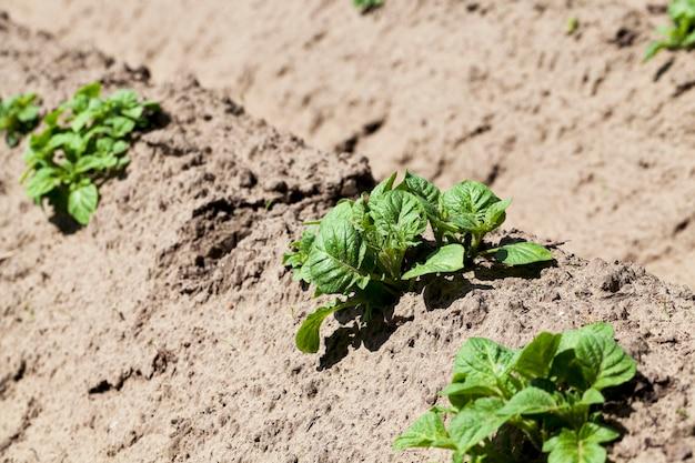 Agricoltura solco di patate verdi terreno arato su cui crescono patate da vicino stagione primaverile