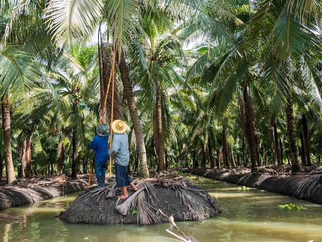Raccolta agricola del profumo di cocco utilizzando il galleggiante in acqua. profumo di cocco ban phaeo the