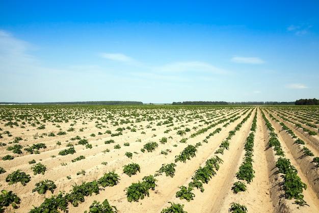 Campo di patate di agricoltura campo agricolo su cui cresce l'ora legale di patate verdi