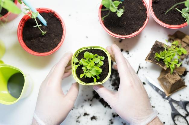 Agricoltura. le mani del giovane si chiudono su piantando le piantine nei contenitori con il suolo.
